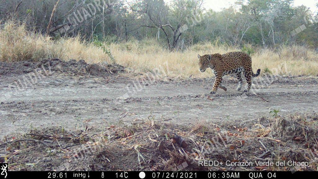 Jaguars caught on camera in new Quadriz biodiversity monitoring