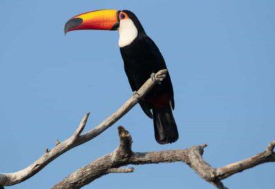 Chaco toucan