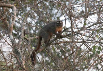 Chaco monkey