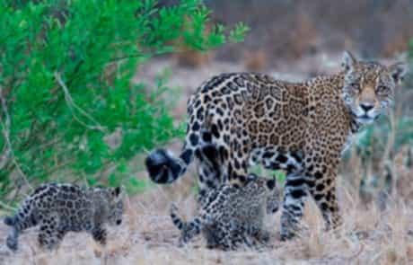 jaguar-with-cubs_Credit_Daniel-Alarcon_PTU-1